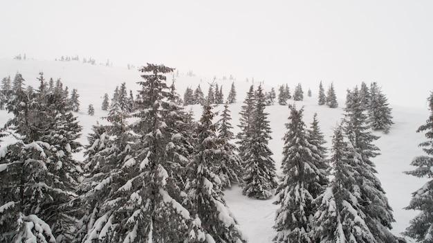 Vista aérea de belas árvores de abeto grosso