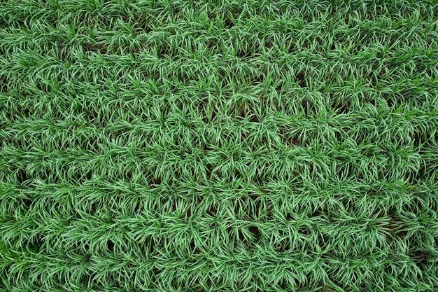 Vista aérea de plantas de cana-de-açúcar crescendo em um campo rural na tailândia