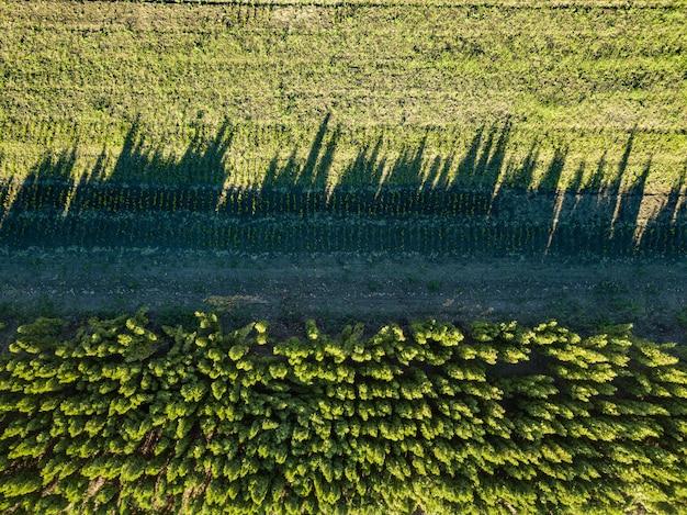 Vista aérea de sombras no chão de árvores jovens, uma plantação plantada com árvores.