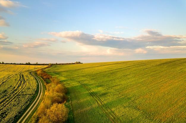Vista aérea de um campo agrícola verde brilhante com plantas de colza em crescimento