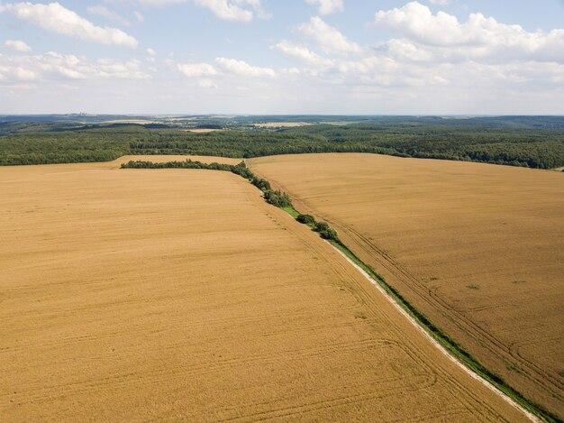 Vista aérea de um grande campo dourado de colza madura