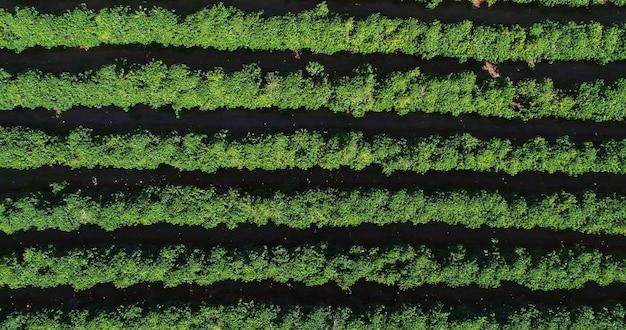 Vista aérea de uma fazenda de café. plantação de café vista de cima. grande fazenda de café. plantas de café. minas gerais, brasil. Foto Premium