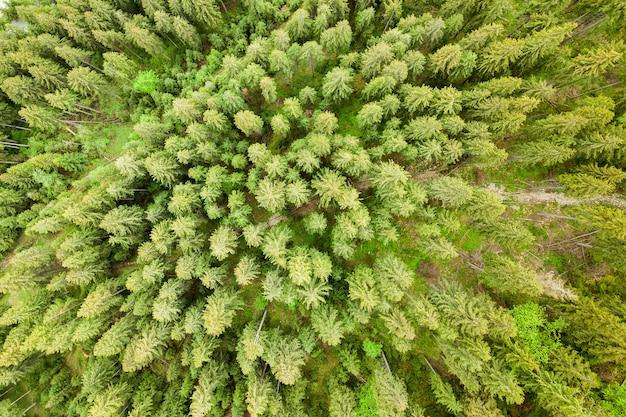 Vista aérea de uma floresta de pinheiros verdes com copas de abetos nas montanhas de verão.
