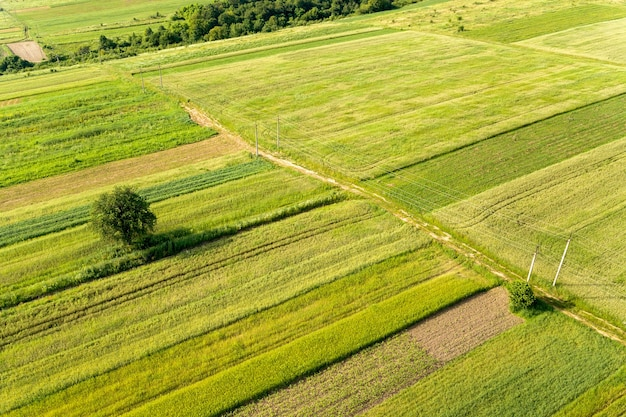 Vista aérea de uma única árvore crescendo solitária em campos agrícolas verdes na primavera com vegetação fresca após a temporada de semeadura em um dia quente e ensolarado.
