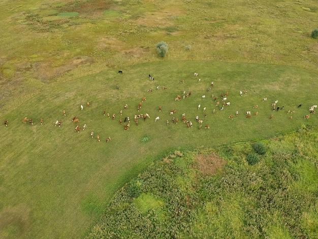 Vista aérea de vacas pastando em um prado verde.