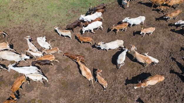 Vista aérea de vacas, voo de drones sobre pastagens no interior da tailândia