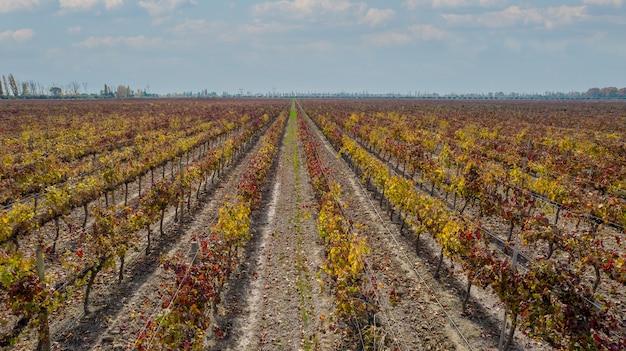 Vista aérea de vinhedos de uvas finas no outono