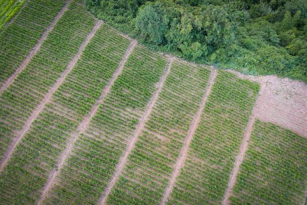 Vista aérea do campo arado fundo de fazenda agrícola de natureza verde, vista de cima da árvore de gengibre de cima das plantações em verde, vista aérea da fazenda de plantas de gengibre e colheita de raiz de gengibre na montanha