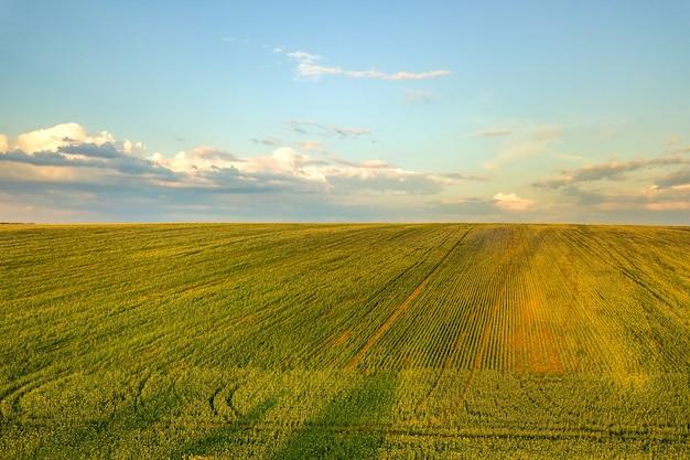 Vista aérea do campo de fazenda agrícola verde brilhante com o cultivo de plantas de colza ao pôr do sol.