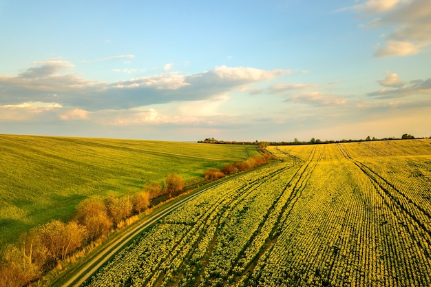 Vista aérea do campo de fazenda agrícola verde brilhante com o cultivo de plantas de colza e estrada de terra cross country ao pôr do sol.