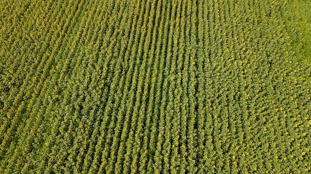 Vista aérea do campo de girassol cultivado no verão