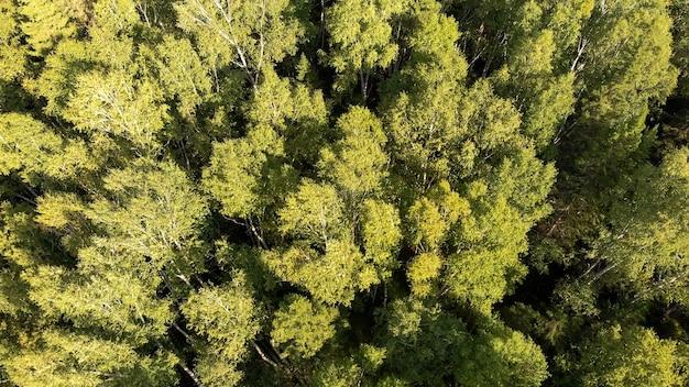 Vista aérea do drone de bosque verde com bétulas