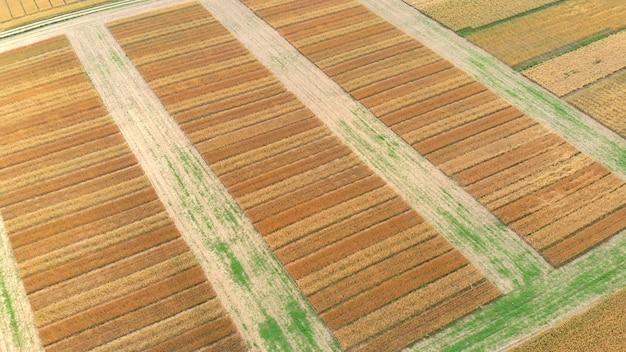 Vista aérea do drone do campo agrícola de trigo dourado maduro com diferentes seções