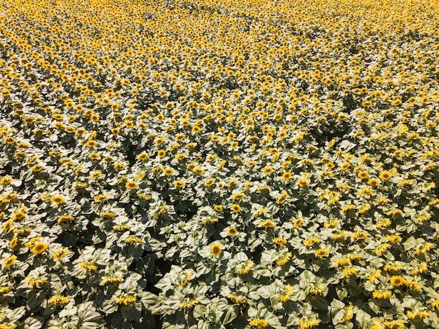 Vista aérea do zangão do campo de girassol, listras verdes e amarelas