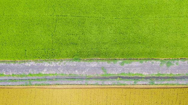 Vista aérea superior do campo de arroz verde e amarelo de cima