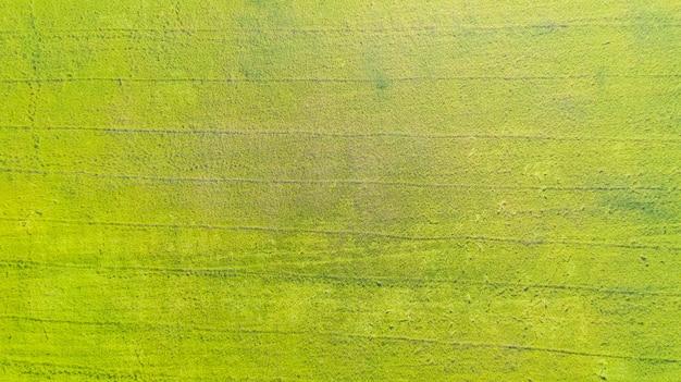 Vista aérea superior dos campos de arroz amarelo e verde