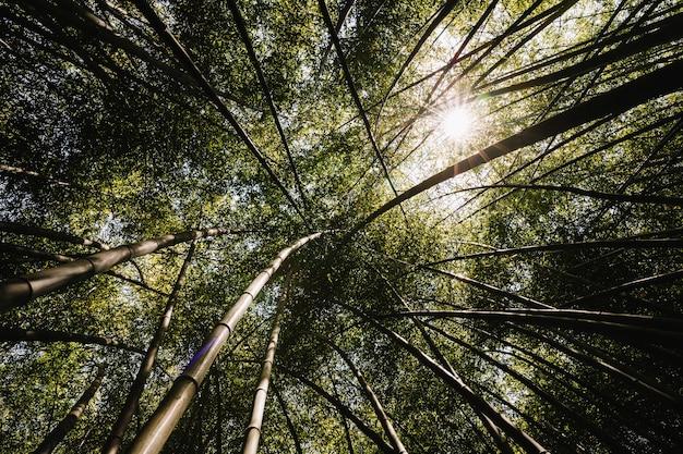 Vista baixa ângulo, de, bosque bambu
