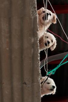 Vista baixa ângulo, de, três, filhotes cachorro, ligado, ondulado, amianto, telhando, colonia bethania, guatemala, guatemala