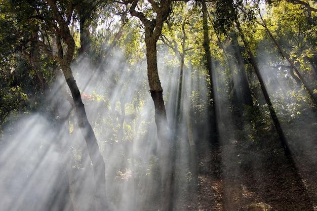 Vista bonita e misteriosa dos raios do sol que cruzam as árvores na floresta.