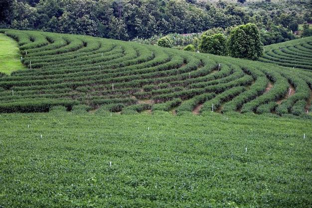 Vista da bela paisagem da plantação de chá na tailândia