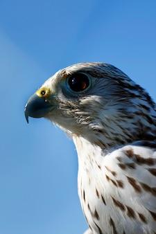 Vista da cabeça do falcão, ave de rapina.