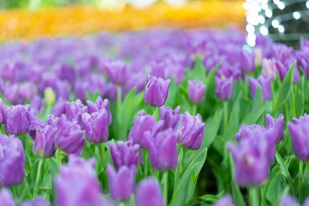 Vista da flor colorida do tulib na estação de mola.