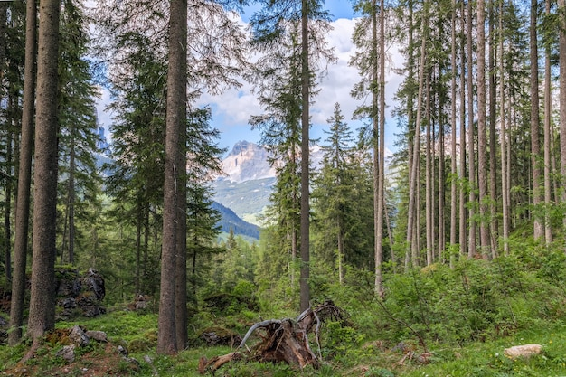 Vista da floresta de coníferas no sopé dos alpes italianos, na itália