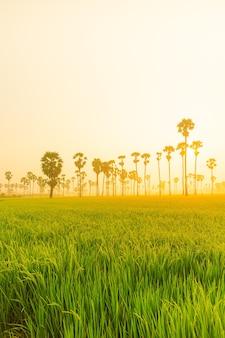 Vista da linha de palmeiras de palmyra asiática ou palmeira de açúcar e campo de arroz verde