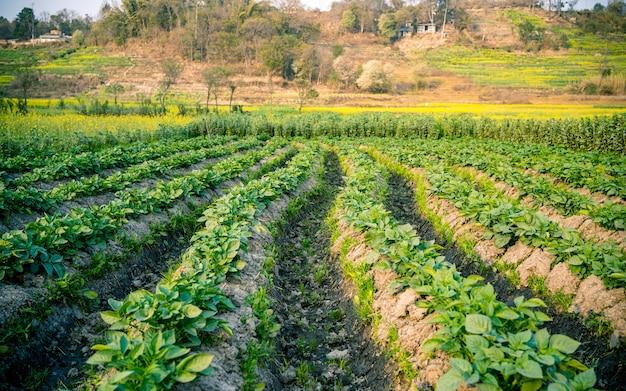 Vista da paisagem da fazenda de batata, kathmandu, nepal.