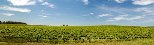 Vista da plantação do vinhedo na região do alentejo, situada em évora, portugal.