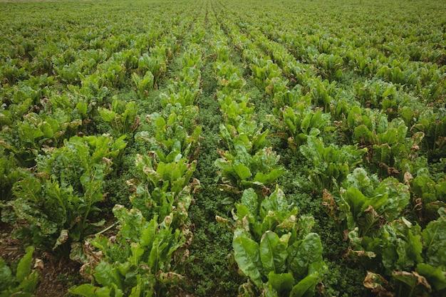 Vista da plantação verde no campo