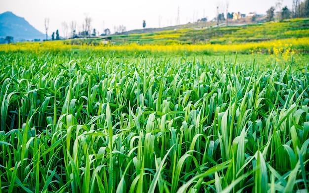 Vista da vegetação da fazenda de cevada, kathmandu, nepal.