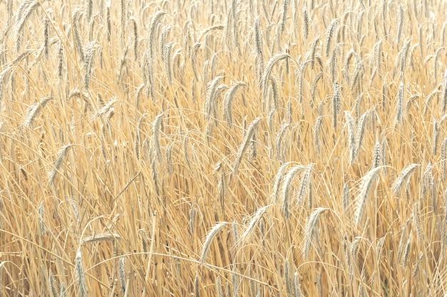 Vista das espigas maduras de trigo de cor dourada que crescem no campo. o conceito de agricultura, natureza.
