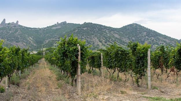 Vista das montanhas da crimeia e do vale com vinhas