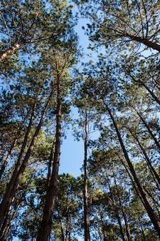 Vista de alto ângulo da floresta de pinheiros.