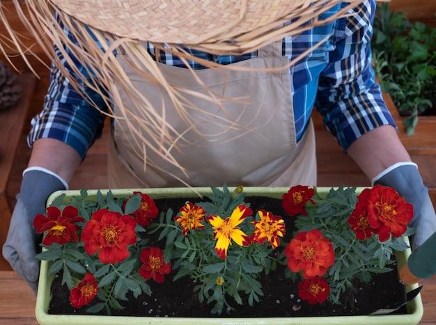Vista de alto ângulo de uma mulher idosa com um grande chapéu de palha, avental e luvas enquanto faz jardinagem e planta novas flores sazonais. fundo e mesa rústicos de madeira