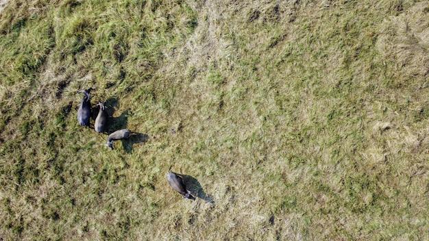 Vista de alto ângulo, fotografia aérea, um rebanho de búfalos comendo em pastagens áridas
