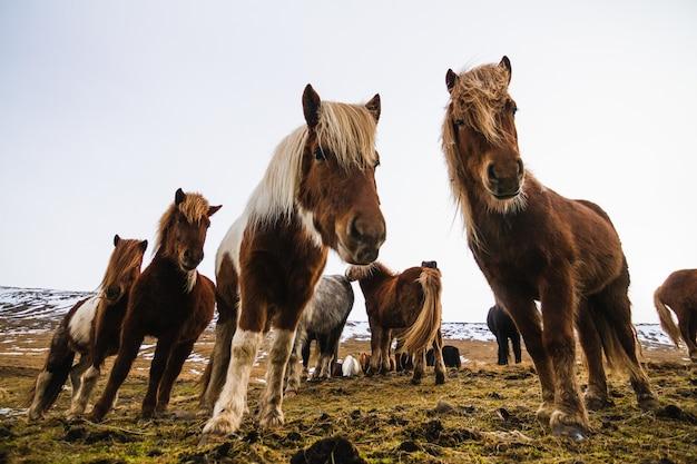 Vista de baixo ângulo de cavalos islandeses em um campo coberto de neve e grama na islândia