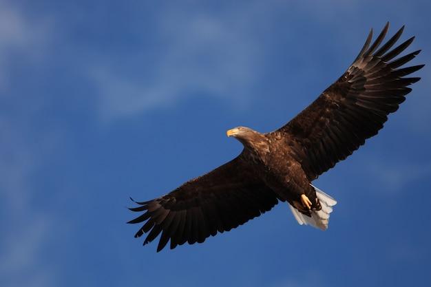 Vista de baixo ângulo de uma águia-de-cauda-branca voando sob a luz do sol e um céu azul em hokkaido, no japão