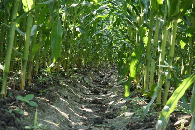 Vista de baixo ângulo de uma fileira de talos de milho jovem