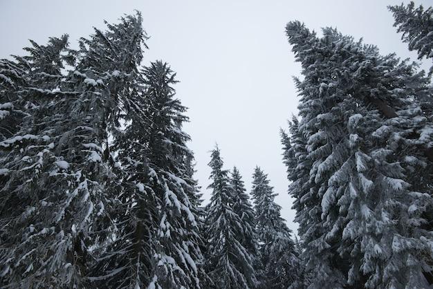 Vista de baixo, belos e esguios abetos nevados crescem entre as colinas pitorescas da floresta em um dia nublado de inverno
