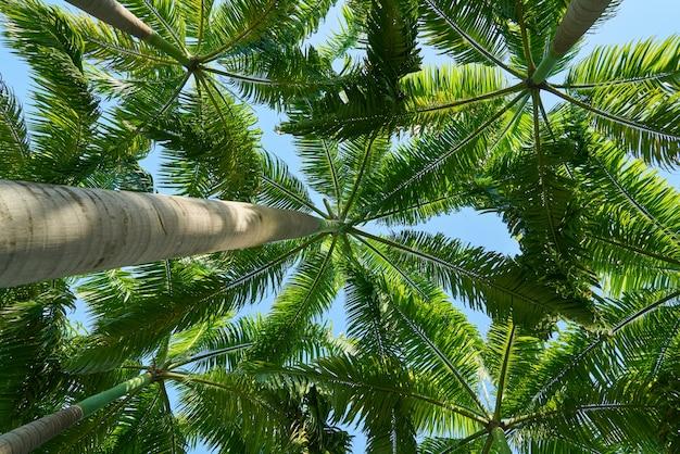 Vista de baixo das palmeiras