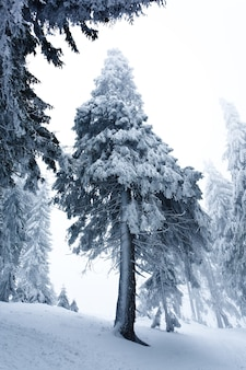 Vista de baixo maciços pinheiros nevados chiques crescem no meio de uma colina com neve.