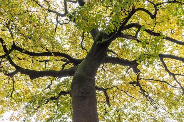 Vista de baixo para cima sob a árvore gingko que ficou amarela no outono