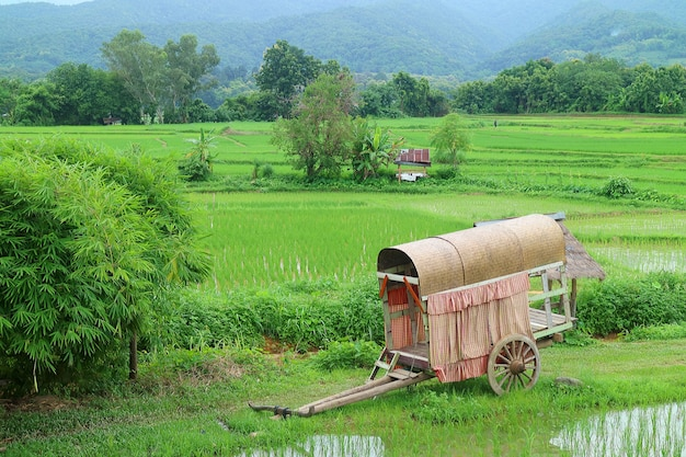 Vista de campos de planta de arroz verde vívido imaturo com um velho carro de bois
