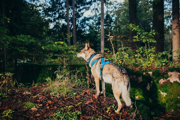 Vista de cão-lobo com arnês de pé no chão