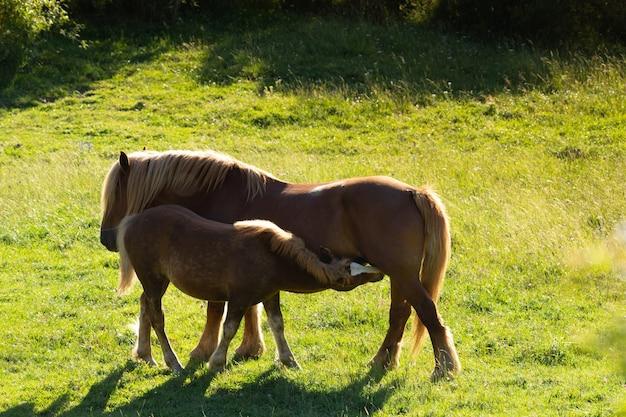 Vista de cavalos marrons no campo verde