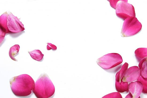 Vista de cima coloca plana pétala de flor rosa vermelha em fundo branco isolado