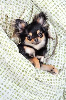 Vista de cima do chihuahua debaixo do cobertor