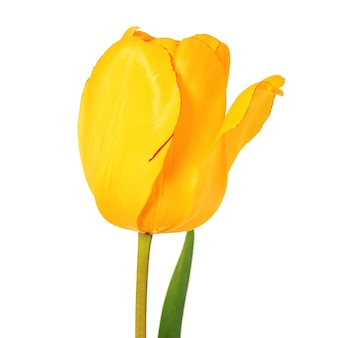 Vista de close up da cabeça de flor da tulipa amarela isolada no fundo branco projeto da primavera